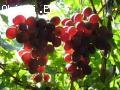 Продавам грозде – Памид,Каберне совиньон,Мускат отонел,Ркаци